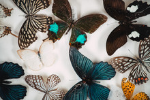 Butterfly Specimen Collection