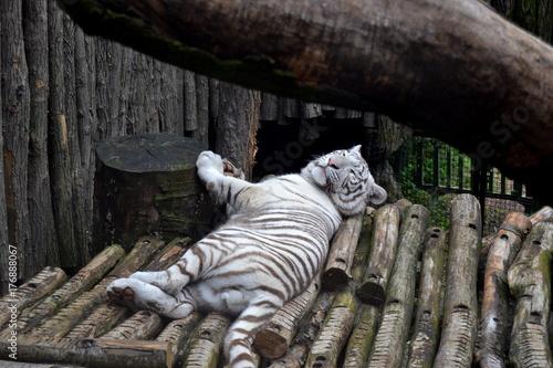 Zdjęcie XXL Biały tygrys