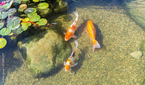Decorative fish in pond