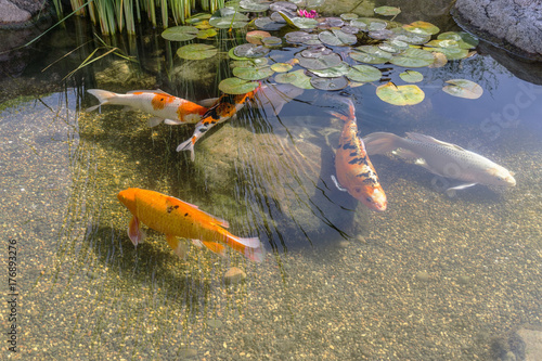 Valokuvatapetti Decorative fish in pond
