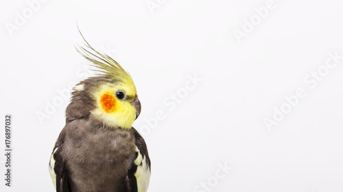 Portrait of a grey cockatiel Nymphicus hollandicus in front of white background Tapéta, Fotótapéta