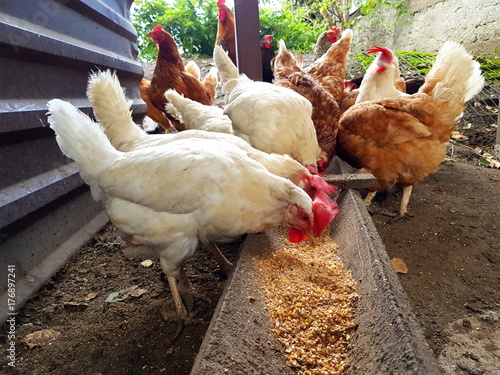 Fotografía  A group of pasture raised chickens peck for feed on the ground