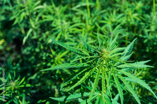 Fotobehang Planten Abstract and conceptual of the cultivation of cannabis for therapeutic purposes.