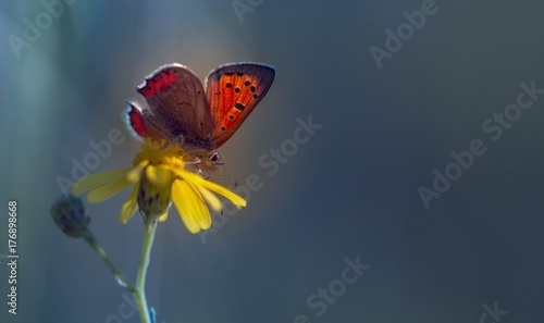 Fotografie, Obraz  Leuchtender Schmetterling - Feuerfalter