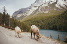 Wild Mountain Goats Eating Roa...