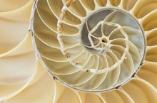 Nautilus Shell, Closeup
