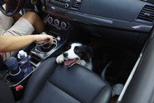 One Lovely Border Collie Sitting In The Car
