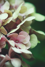 Close-up Of Pink Hydrangea Flowers In Bloom