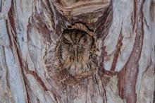 Tropical Screech-Owl Hiding In...