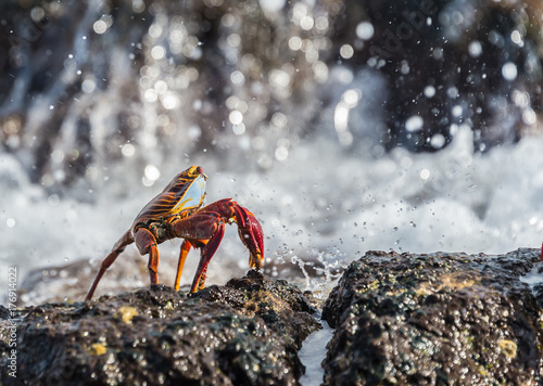 Sally lightfoot crab, grapsus grapsus, Galapagos Islands, Ecuador