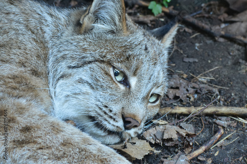 Photo  Canadian lynx