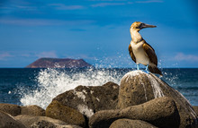 Blue Footed Boobie With A Wave...