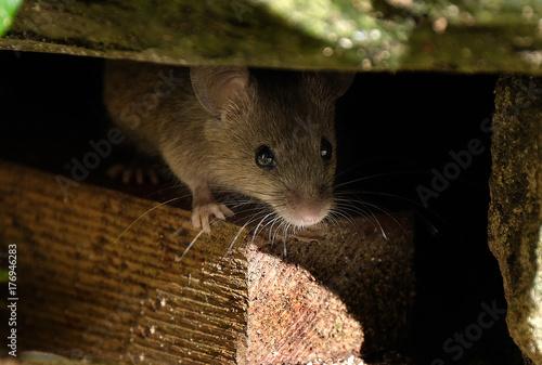 Photo  Mouse feeding on scone in house garden.
