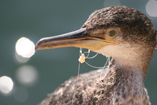 Young Cormorant With Fishing Line And Hook Caught In Beak.
