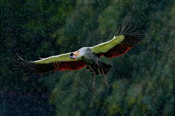 Fototapeta Ptaki Grey crowned crane fly, Balearica regulorum, with dark background. Bird head with gold crest in beautiful evening sun light. Sunset in nature. Wildlife flight scene from Africa, Tanzania. Crane rain.