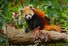 Beautiful Red Panda Lying On T...