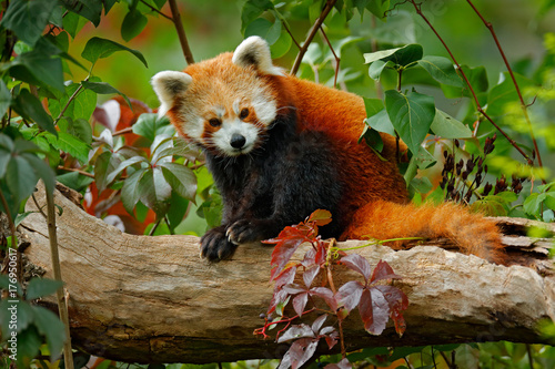 Foto op Canvas Panda Beautiful Red panda lying on the tree with green leaves. Red panda bear, Ailurus fulgens, habitat. Detail face portrait, animal from China. Wildlife scene from Asia forest. Panda from nature.