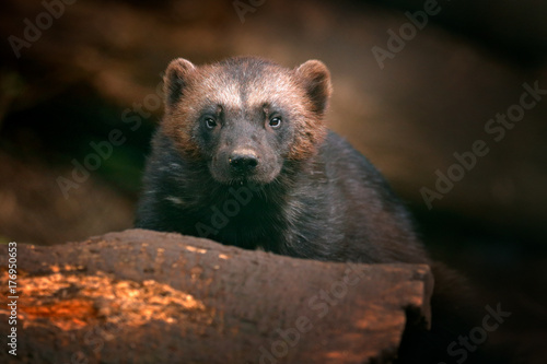 Fotografie, Obraz  Detail portrait of wild wolverine