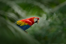 Red Parrot In Green Vegetation...