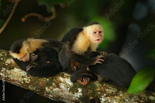 White-headed Capuchin, Cebus capucinus, black monkey sitting on the tree branch in the dark tropic forest, animal in the nature habitat, wildlife of Costa Rica Wallpaper Mural