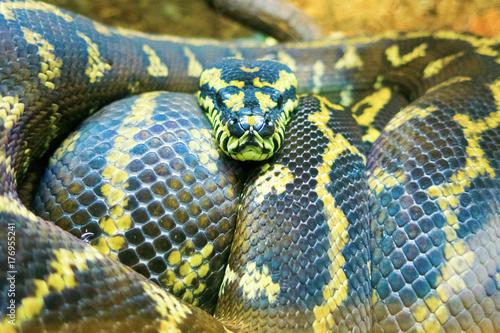 Plakat python dywanowy