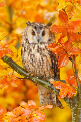 Plakat Bird in orange forest, yellow leaves. Long-eared Owl with orange oak leaves during autumn. Wildlife scene fro nature, Sweden. Animal in fall habitat. Orange oak leaves with beautiful bird.