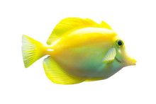 Yellow Tang Fish Isolated On W...