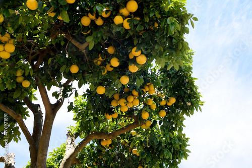 Grapefruit tree - Citrus X paradisi.