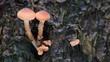 Hallimasch an einen Baumstumpf, Wald, Herbst, (Armillariella mellea)