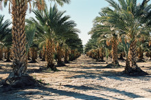 Landscape Of Palm Tree Rows