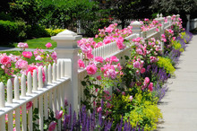 White Picket Fence And Pink Climbing Roses, Colorful Garden Border