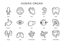 Human Internal Organ In Line Icon Style Collection. Illustration About Medical And Anatomy.