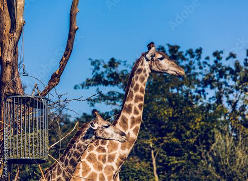 girafes Plakát