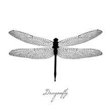 Black Dragonfly On White Background Isolated. Hand-drawn Vector Illustration In The Vintage Style. Calligraphic Inscription - Dragonfly