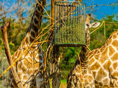 girafe Plakát