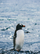 Penguin On Background Of Sea
