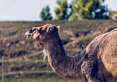 Vászonkép  chameau