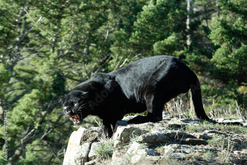 Black Leopard on rocks