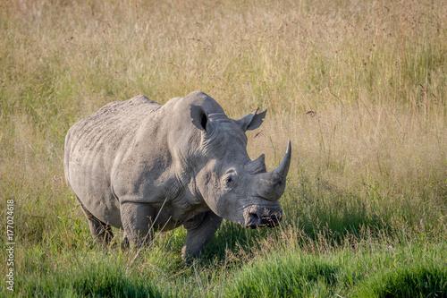 Vászonkép Big White rhino bull standing in the grass.