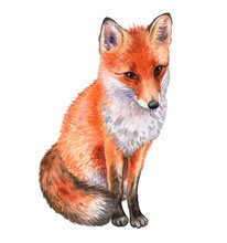 Fox Isolated On White Backgrou...