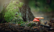 Two Mushrooms Near A Stump In ...