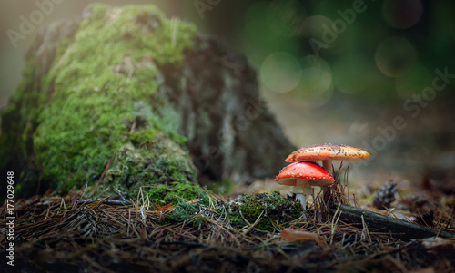 Two mushrooms near a stump in the forest Canvas Print