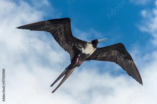 Fotografía Great frigate bird in flight, Galapagos Islands