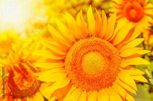 bright-yellow-sunflowers-and-s
