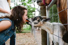 Little Girl Feeding A Goat With Her Mouth