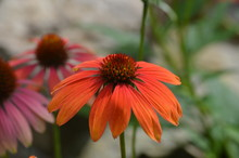 Coneflower In The Garden