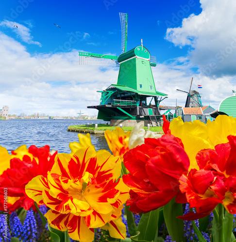 tradycyjne-drewniane-holenderskie-wiatraki-zaanse-schans-i-tulipany-kwiaty-holandia