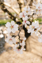 Almond Tree Orchard In Bloom