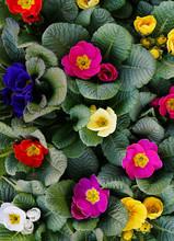 Spring Primula Mix