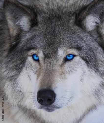 Blue eyes wolf